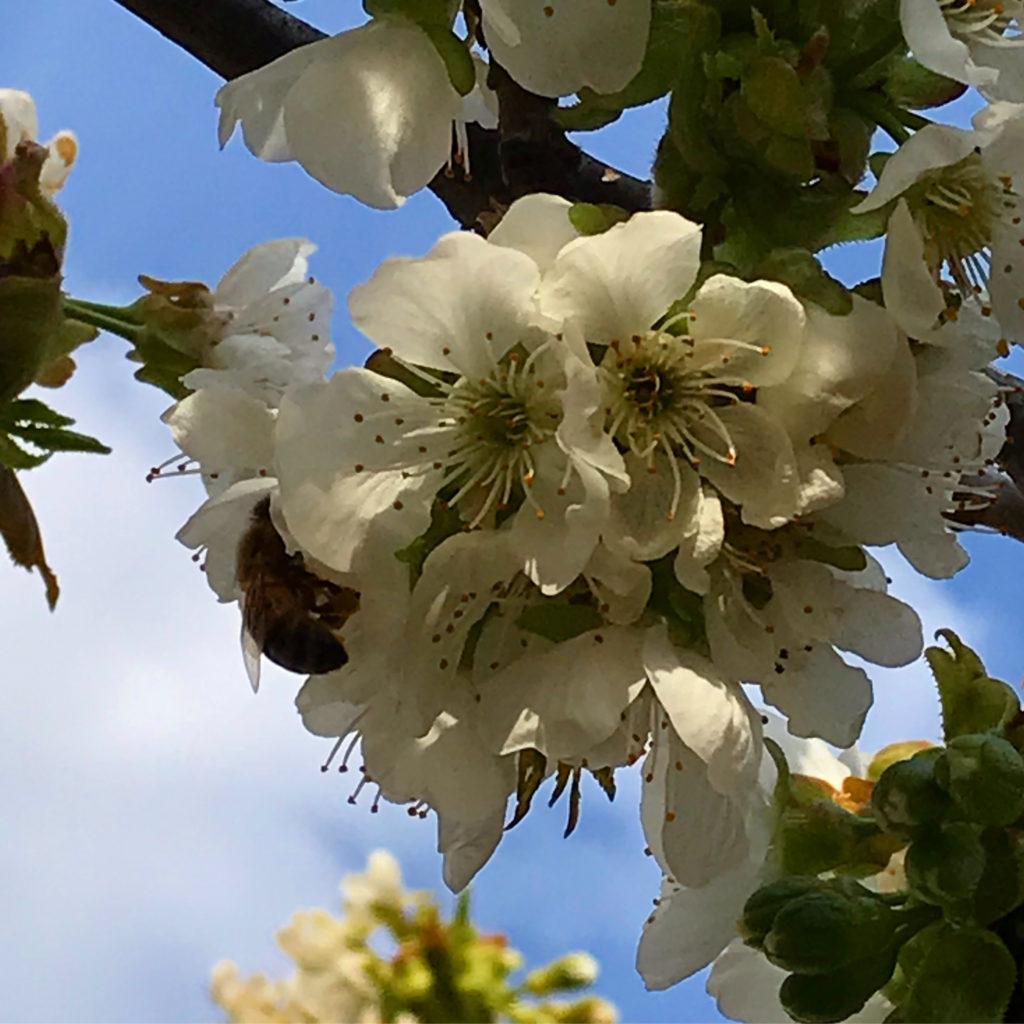 Vom kleinen Glück: Kaiserkronenwetter Kirschblüten