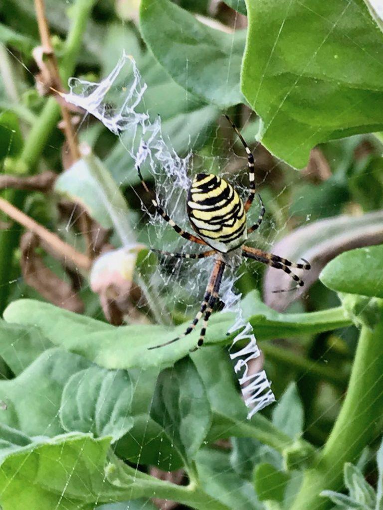 Die Wespenspinne in ihrem Netz