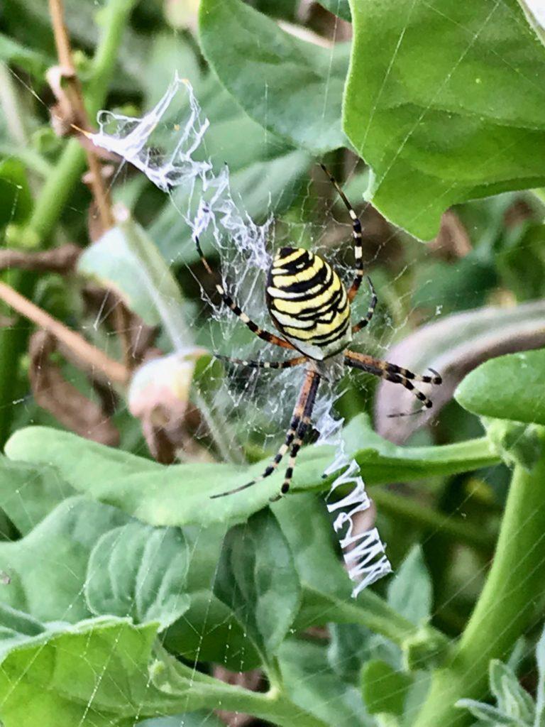 Die Wespenspinne