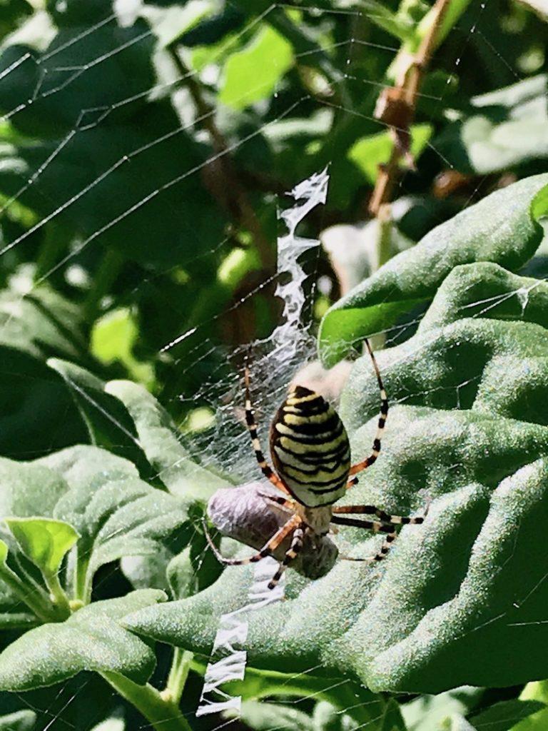 Die Wespenspinne hat ihre Beute eingewickelt.