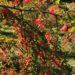 Goldene Herbsttage: Berberitzen