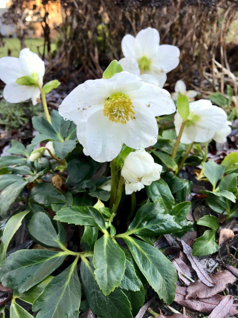 Vom kleinen Glück: Der Winterblüher Christrose ist die kleine Diva im Terrassenbeet