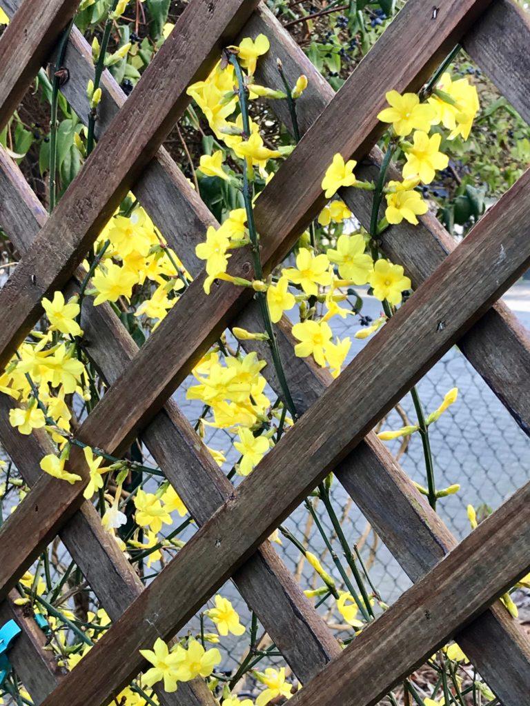 Vom kleinen Glück: Die Farbe gelb Der Winterjasmin