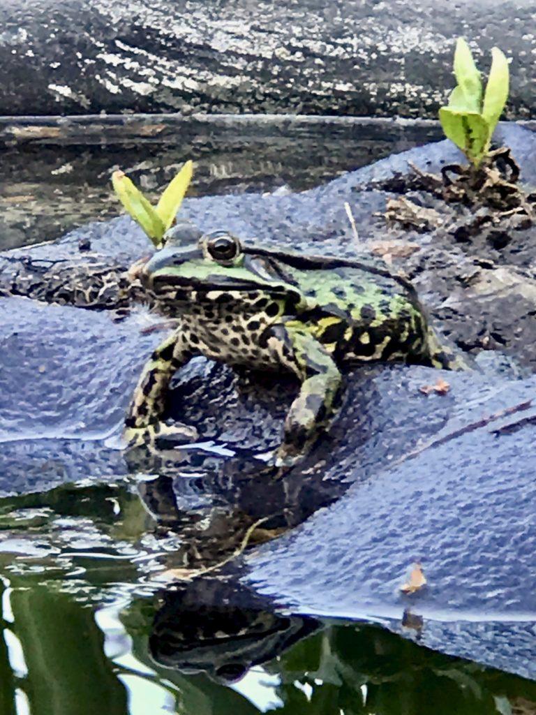 Die schwimmende Insel gefällt dem Frosch