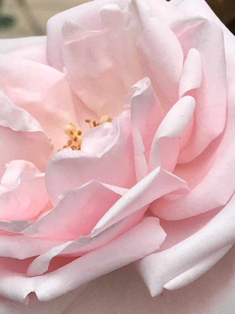 Vom kleinen Glück: Rosenzeit