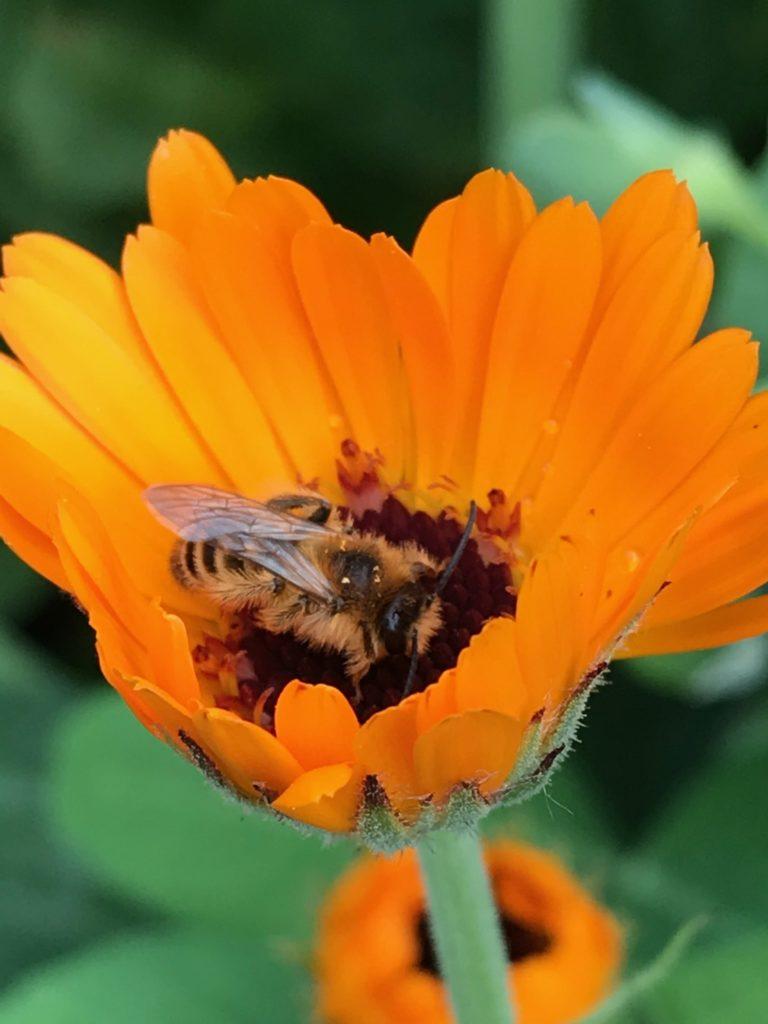 Wildbiene in Ringelblume